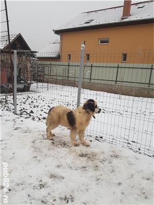 Vand  câine de paza  Ciobănesc de Bucovina - imagine 1
