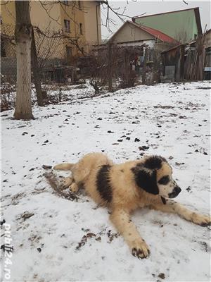 Vand  câine de paza  Ciobănesc de Bucovina - imagine 5