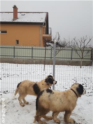 Vand  câine de paza  Ciobănesc de Bucovina - imagine 2