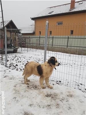 Vand  câine de paza  Ciobănesc de Bucovina - imagine 4