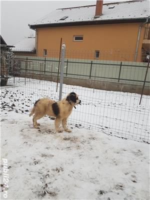 Vand  câine de paza  Ciobănesc de Bucovina - imagine 3