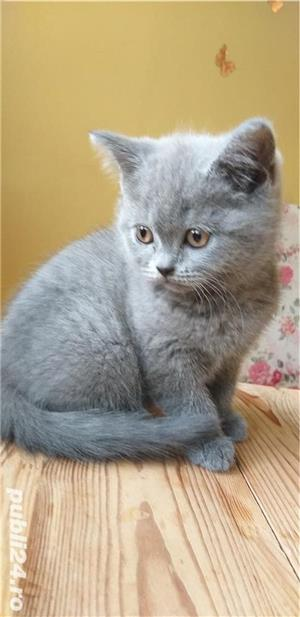British shorthair blue. Rasă pură.  Doar poze reale! - imagine 3