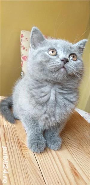 British shorthair blue. Rasă pură.  Doar poze reale! - imagine 2
