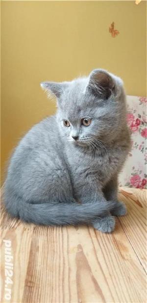 British shorthair blue. Rasă pură.  Doar poze reale! - imagine 5