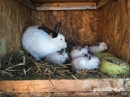 Pui de iepure California /Californian - imagine 2