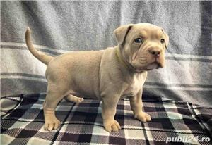 Pui de american bully - imagine 4