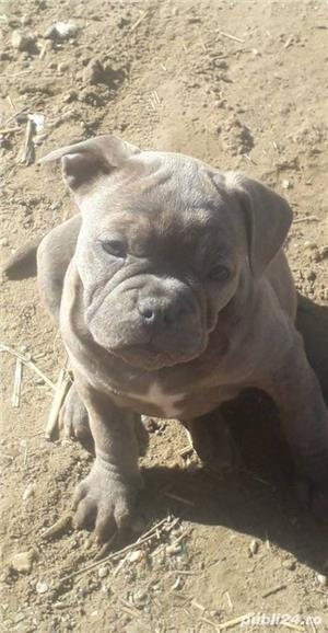 Pui de american bully - imagine 5