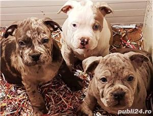 Pui de american bully - imagine 2