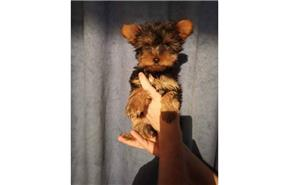 Pui yorki yorkie yorkshire terrier - imagine 1