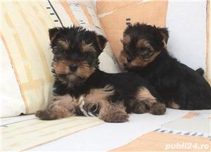 Pui yorki yorkie yorkshire terrier - imagine 3