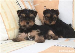 Pui yorki yorkie yorkshire terrier - imagine 2