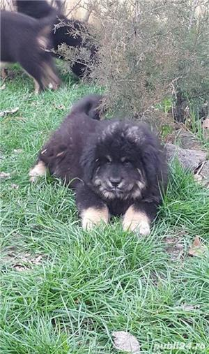Pui de mastiff mastif tibetan - imagine 3