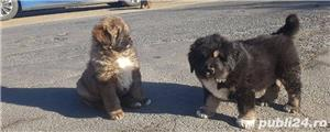 Pui de mastiff mastif tibetan - imagine 2