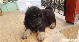 Pui de mastiff mastif tibetan - imagine 1