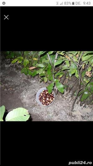 Vand puiuti de castane comestibili - imagine 3