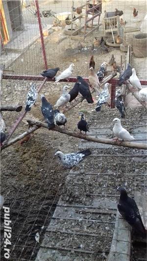 Porumbei  voiajori  - imagine 5