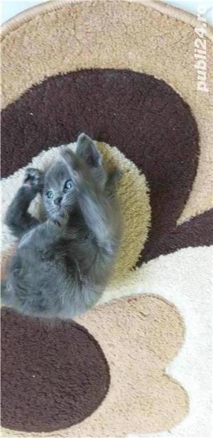 Motănel shorthair blue superb - imagine 2