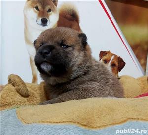 Shiba-inu cu pedigree - imagine 5