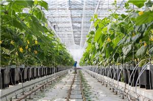 Personal Agricultura - Productie Rasaduri ,Sere Ardei cules , Plante ornamentale si arbusti - Olanda - imagine 2