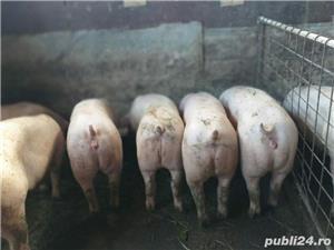Vând porci la 100 kg rasă de carne. - imagine 1