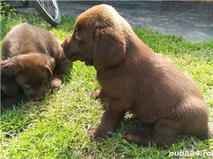 Catelusi Labrador Retriever retriver ciocolatiu  - imagine 1