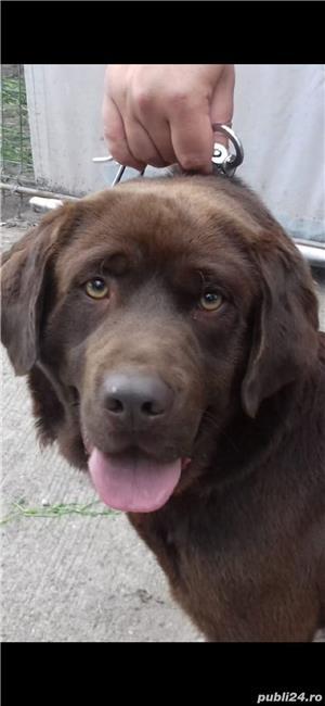 Labrador Retriever - imagine 5