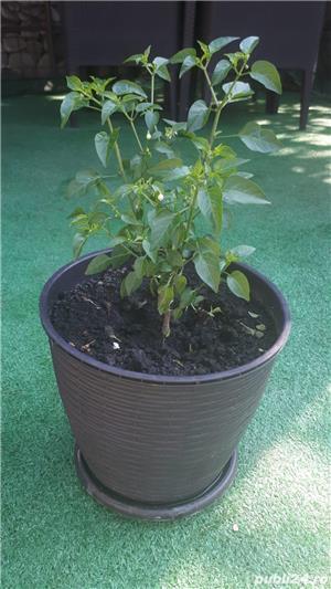 Vând plante de ardei iute tip PEPERONCINO DIAVOLICCHIO CALABRESE - imagine 5