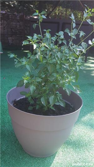 Vând plante de ardei iute tip PEPERONCINO DIAVOLICCHIO CALABRESE - imagine 4
