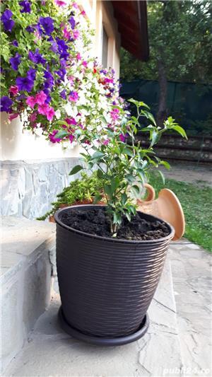 Vând plante de ardei iute tip PEPERONCINO DIAVOLICCHIO CALABRESE - imagine 2