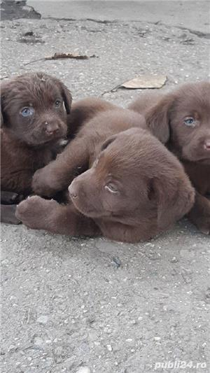 Labrador Retriever - imagine 2