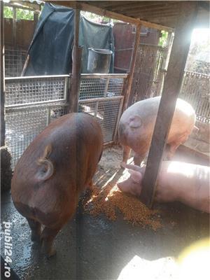 Vand 2 porci - imagine 1