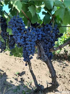 Vand struguri pentru vin - imagine 2