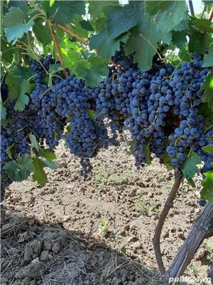 Vand struguri pentru vin - imagine 4