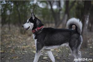 Husky Siberian  Pentru Monta ( imperechere ) - imagine 1