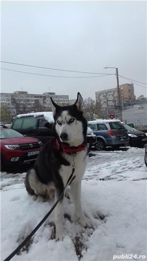 Husky Siberian  Pentru Monta ( imperechere ) - imagine 9
