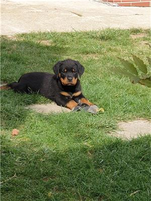 Pui rottweiler cu pedigree  - imagine 2