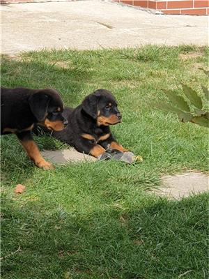 Pui rottweiler cu pedigree  - imagine 1