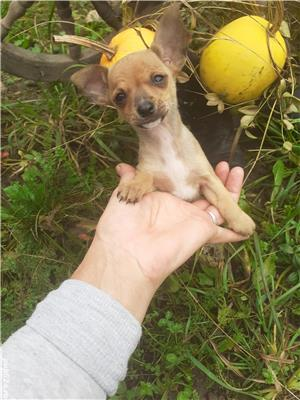 Cadou dragut de Mos Nicolae : Chihuahua - imagine 1