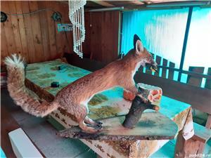 Servicii de impaiere(taxidermie) naturalizare animale  - imagine 2
