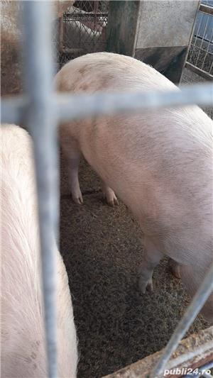 Vând  porc  - imagine 5