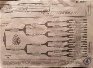 CAINE BULLTERRIER PENTRU MONTA(MASCUL) - imagine 2