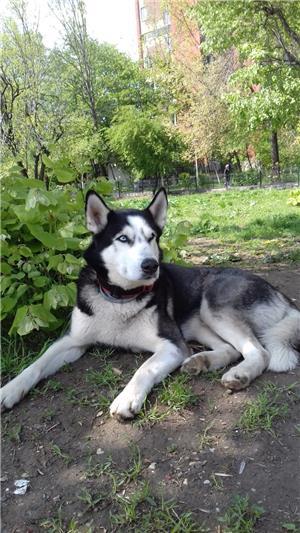 Husky Siberian  Pentru Monta ( imperechere ) - imagine 6