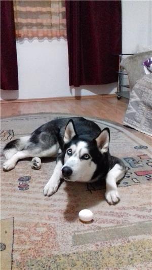 Husky Siberian  Pentru Monta ( imperechere ) - imagine 5