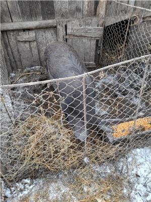Porc de vanzare in viu și la carcasa - imagine 1
