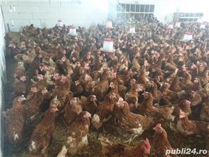 vând găini ouătoare  - imagine 7