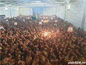 vând găini ouătoare  - imagine 2