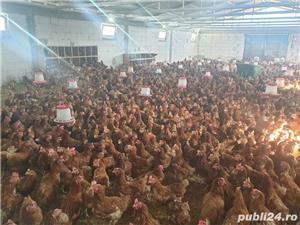 vând găini ouătoare  - imagine 3