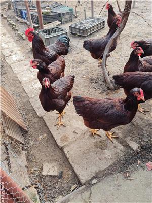 Rhode Island Red ouă pentru incubat  - imagine 3