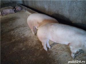 porci de rasa - imagine 2