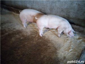 porci de rasa - imagine 1